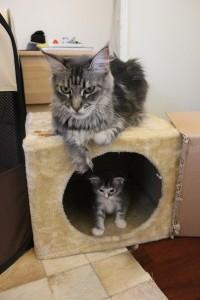 Arya di Lunae Feles con la mamma Charming Lynx Kora Penny